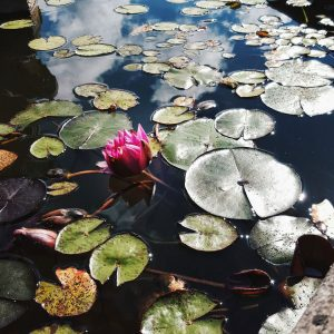Monserrate-Palace,-Sintra---water-lily-and-puddlegram