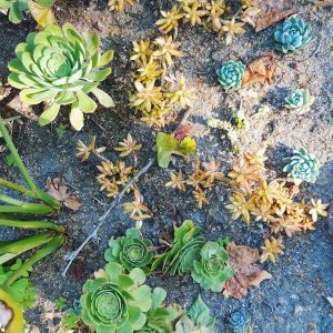 succulent-garden-at-Monserrate-Palace-in-Sintra