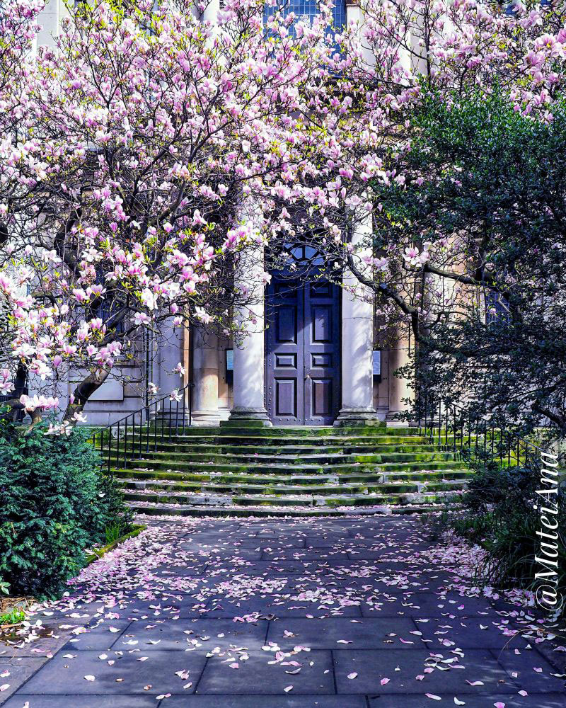 Magnolia-blossoms-in-London-by-Ana-Matei