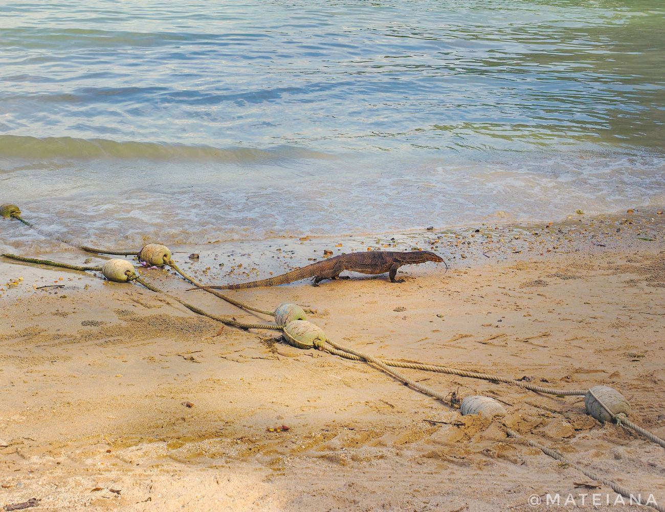 Asian-Water-Monitor-on-East-Railay-Beach