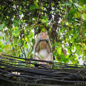 Crab-Eating-Macaque-on-East-Railay-Beach