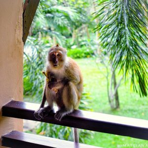 Crab-Eating-Macaque-on-East-Railay-Beach---on-our-balcony