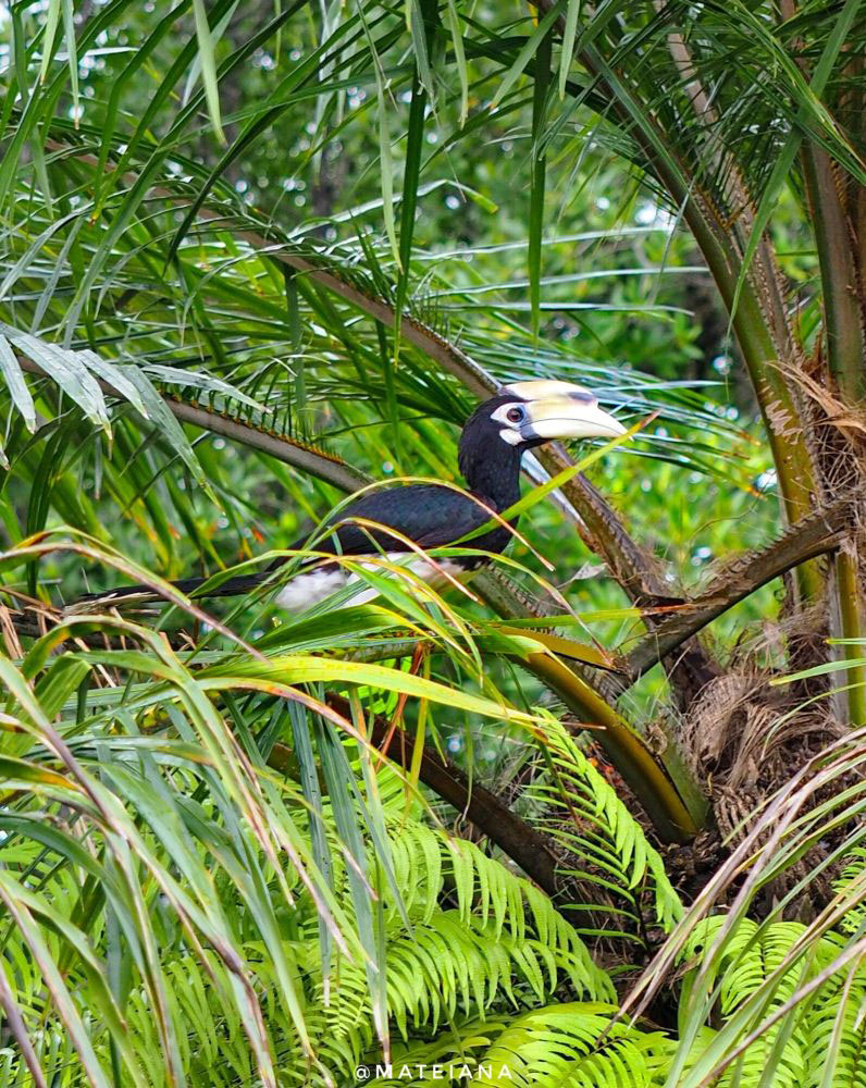 Oriental-Pied-Hornbill---Exotic-Bird-on-East-Railay-Bay