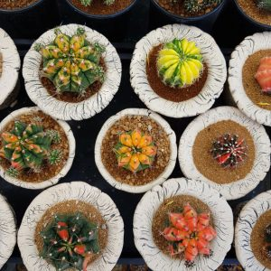 cacti-in-Chiang-Mai-Flower-Market