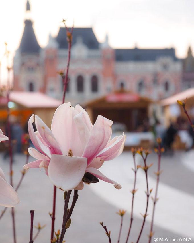 Spring-in-Oradea,-Romania---magnolia